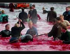 Dolphin Massacre in Denmark